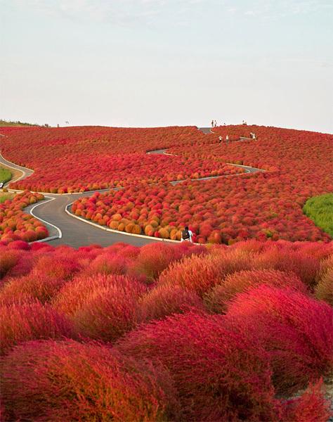 Công viên Hitachi gần bờ biển Ajigaura ở thành phố Hitachinaka, Nhật Bản với diện tích 3,5 ha là thiên đường của các loài hoa khoe sắc quanh năm. Nơi đây được ví như Thái Bình Dương trên đất liền bởi phủ đầy những cánh đồng hoa bất tận, trải dài tít tắp tới chân trời. Ảnh: nipomen2