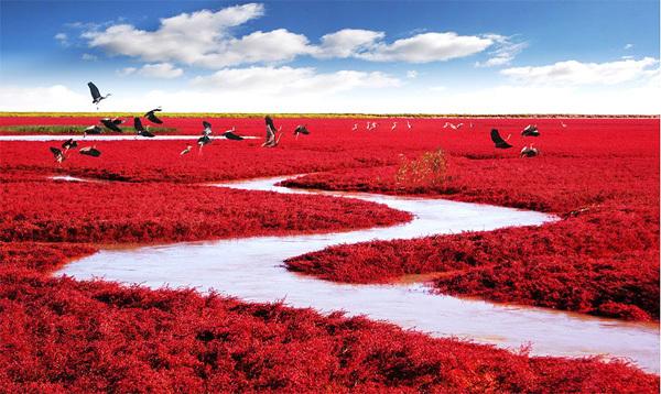 Bãi biển Đỏ nằm ở đồng bằng châu thổ sông Liaohe, cách thành phố Bàn Cẩm, Trung Quốc khoảng 30km về phía Tây Nam. Nơi đây được gọi là biển Đỏ vì khu vực này được bao phủ bởi một loài cỏ dại màu đỏ khi bước vào mùa thu. Ảnh: MJiA