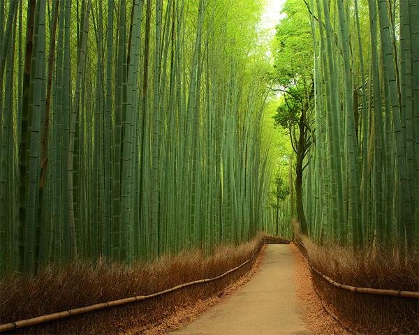 Rừng tre Sagano nằm ở phía tây bắc của Kyoto, Nhật Bản có diện tích 16km2. Không chỉ đẹp, khu rừng còn tạo ra những bản nhạc du dương khi gió thổi qua những rặng tre xào xạc. Ảnh: Yuya Horikawa