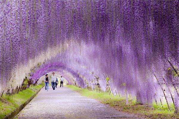 Những chùm hoa mềm mại chảy xuống như thác, bồng bềnh như mây khiến người xem như lạc vào chốn bồng lai tiên cảnh.
