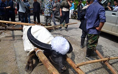 Chú trâu vừa qua đời năm nay 28 tuổi. Theo người dân nơi đây, chú trâu này đã từng giành 11 chức vô địch tại các cuộc thi chọi trâu của người dân tộc Miao.