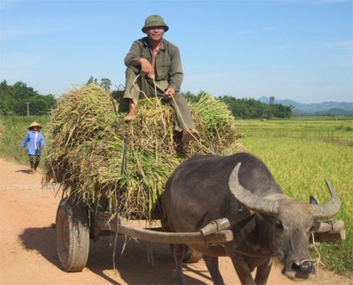 Điều khiển xe bò chở lúa (ảnh Hải Bình