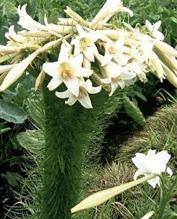 Cành hoa loa kèn khổng lồ.