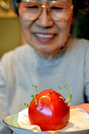 Quả cà chua... trổ mầm.