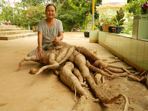 Sắn khủng nặng tới 90kg tại Việt Nam