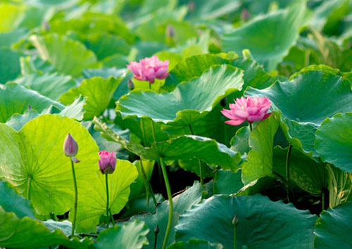 lotus-1376704302_600x0.jpg
