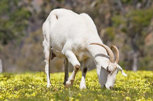 goat-5602-1379036887.jpg