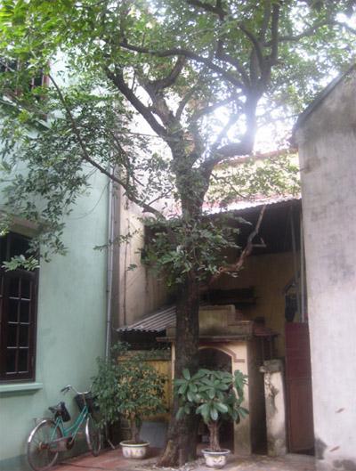Cây thị và ngôi miếu kỳ lạ trong ngôi miếu của nhà bà Sinh.
