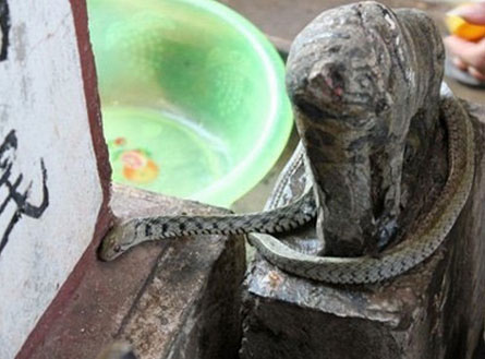 Lời đồn bí ẩn về những cái chết do ăn thịt 'rắn thần'