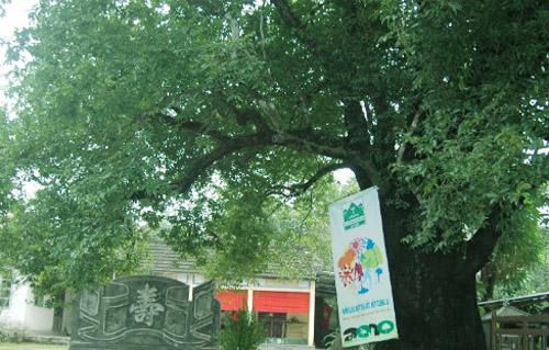 Sau 30 năm chết khô, cây thị bỗng nhiên hồi sinh lạ kỳ.