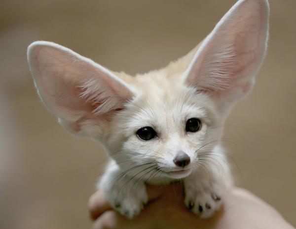 Mặc dù nhỏ nhất trong số tất cả các cáo trên thế giới, đôi tai của nó là tương đối lớn nhất với kích thước cơ thể.