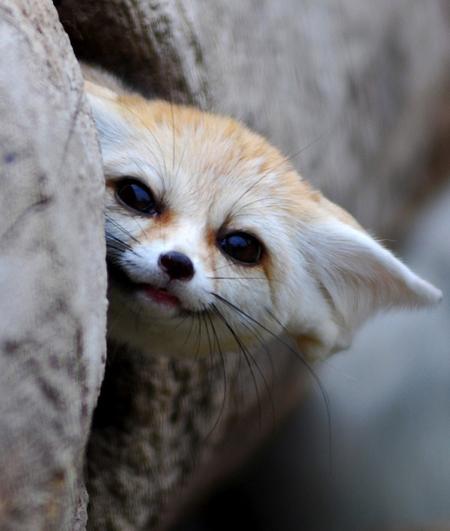 """Vì vẻ ngoải đáng yêu, đôi tai lớn, """"môi"""" biết cười mà cáo fennec đang được nhiều nơi trên thế giới chọn là thú nuôi trong nhà."""