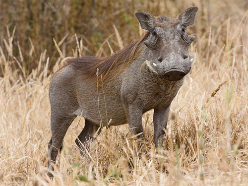 Found throughout sub-Saharan Africa, the warthog is like a weird assemblage of other animals' parts. Surely only its own mother could love it ... but even then. Ảnh: GNU
