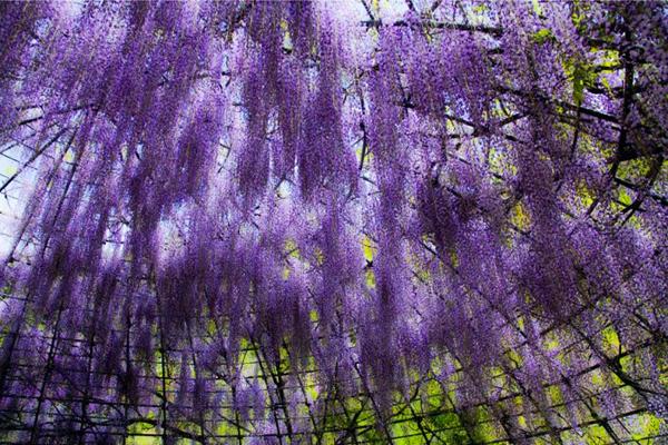wisteria-tunnel-japan-woe5-6134-13935666