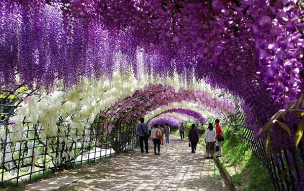 wisteria-tunnel-japan-woe8-7220-13935666