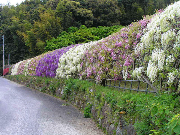 wisteria-tunnel-japan-woe9-1598-13935666