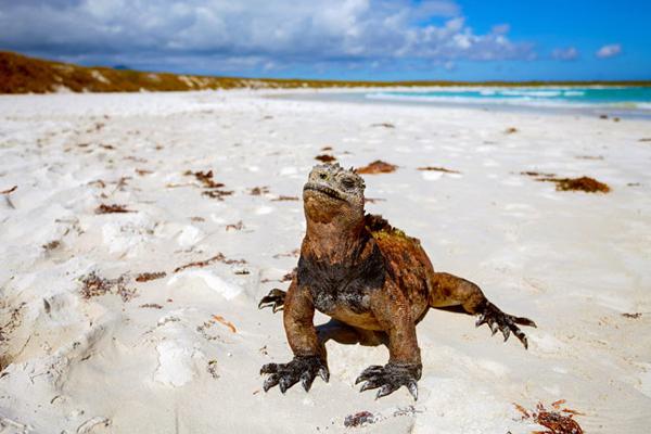 Galapagos là quần đảo núi lửa cổ nằm trên đường xích đạo thuộc Thái Bình Dương, cách bờ biển Ecuador 927 km. Đây là quần đảo ghi đậm dấu chân nhà khoa học Charles Darwin, góp phần quan trọng trong học thuyết tiến hóa của ông. Trên bảy đảo thuộc quần đảo Galapagos, biểu tượng của hòn đảo này. Ngoài ra, còn có các loài đáng chú ý khác như chim hải âu, chim cốc Galapagos, chim cánh cụt Galapagos, mòng biển Lava, chim nhại Floreana, diều hâu Galapagos, diệc Lava, chim sẻ ăn đêm, gà nước Galapagos, chim nhạn, hải cẩu Galapagos, sư tử biển Galapagos, chuột, dơi và dơi lông trắng&