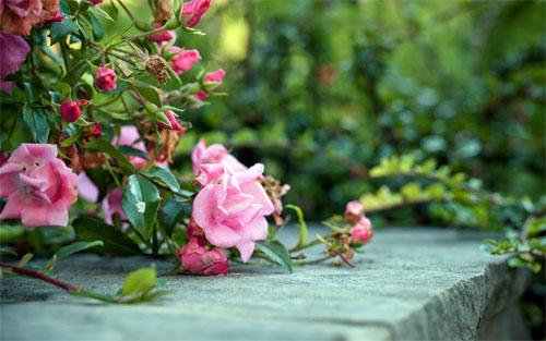 roses-4033-1396239326.jpg