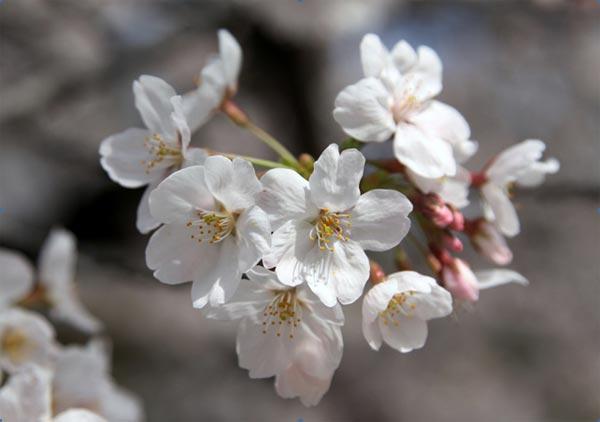 Hoa anh đào có tương đối nhiều loại, từ loại hoa mọc dại trên núi cho đến những loại được lai tạo kỳ công để phục vụ nhu cầu thưởng ngoạn của con người.