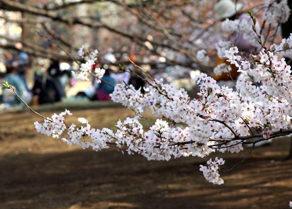 Sakura11-2049-1396585619.jpg
