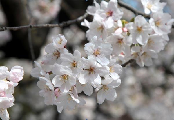 Sakura2-5585-1396585619.jpg