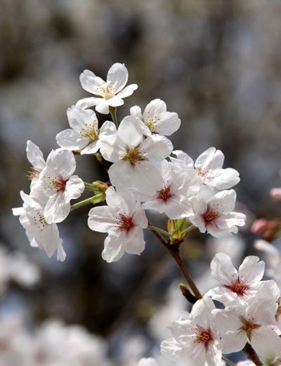Về màu sắc, có 2 màu cơ bản là trắng và hồng, cùng với đó là sự kết hợp giữa hai màu này, tạo ra sự đa dạng về màu sắc của từng cây hoa.