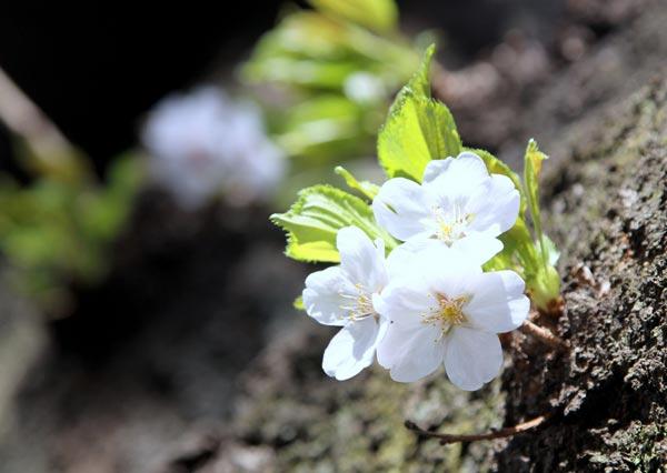 Sakura8-1597-1396585619.jpg