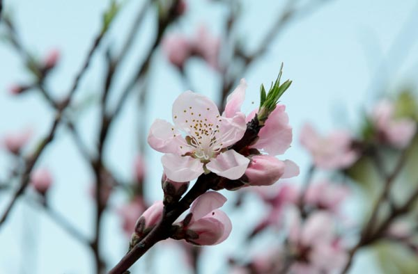 Sakura9-6529-1396585619.jpg