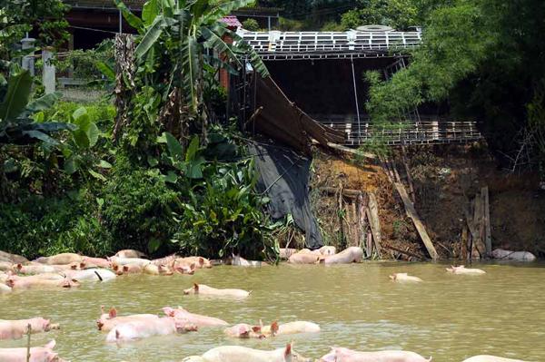 Lái xe đã gọi xe cứu hộ giao thông đến kéo xe lên và cùng dân bắt lại đàn lợn dưới ao.