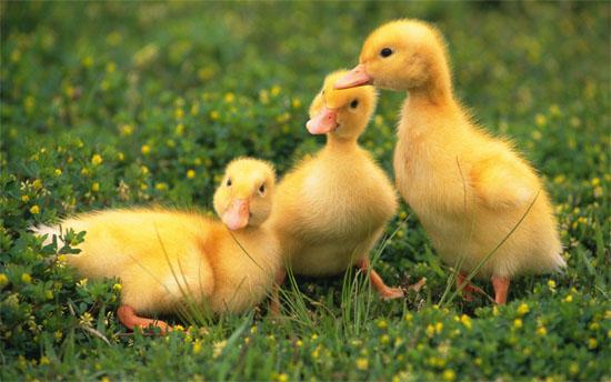 duck-5262-1399970290.jpg