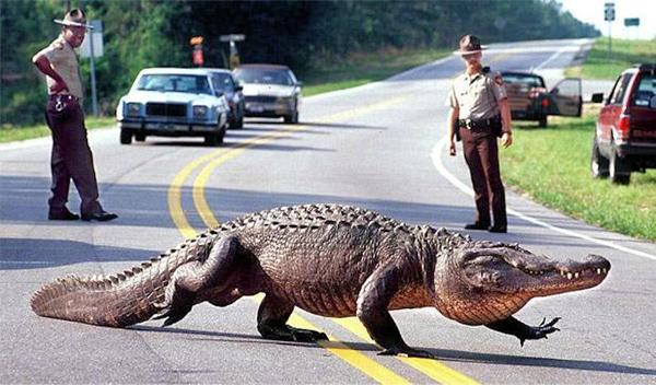 alligator-brunswick-600-1398-1400471404.