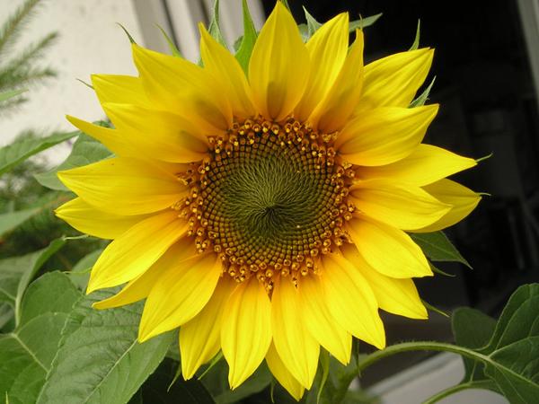 Sunflower-P7301473-6010-1400729677.jpg