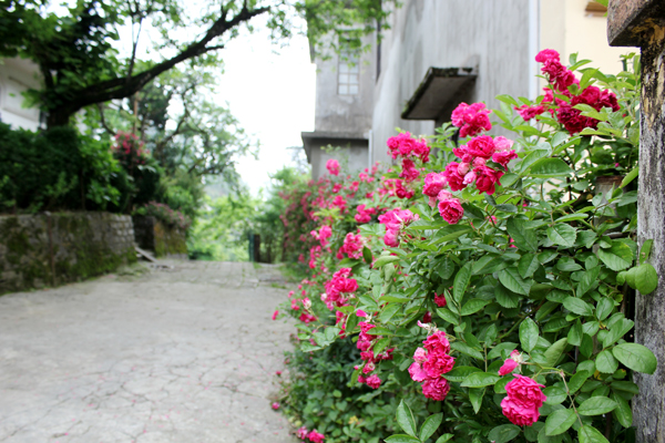 giàn hồng leo Sapa