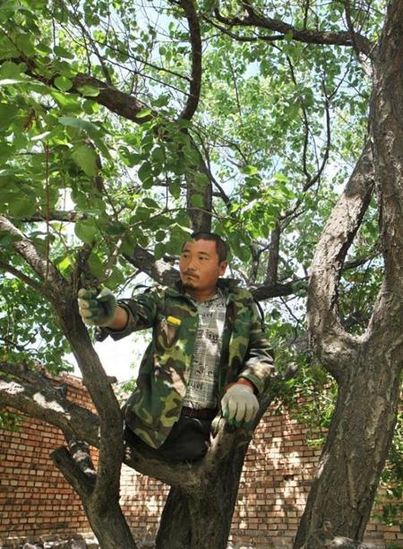 Wang Xiaobing prunes his apricot tree in his yard.