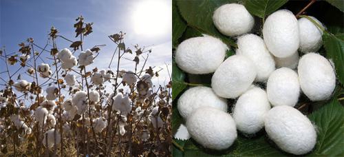 Cây bông là nguyên liệu chính tạo nên chất liệu cotton thiên nhiên (ảnh trái). Kén tằm là nguyên liệu chính tạo nên chất liệu vải tơ tằm độc đáo (ảnh phải).