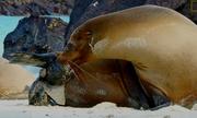 Hải cẩu sinh con trên bãi biển
