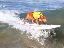 Chó lướt sóng như người