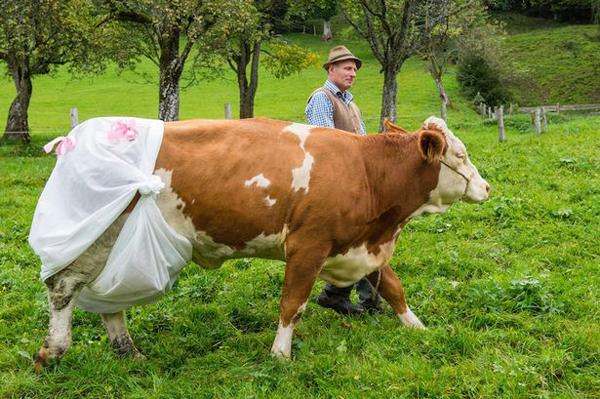 cow-7130-1412908901.jpg