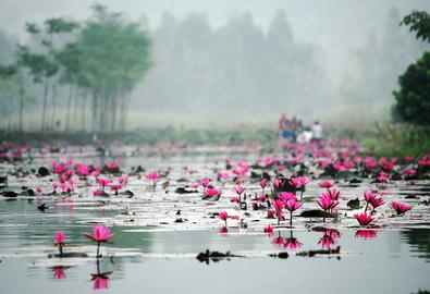 Đi chùa Hương, 'săn' hoa súng mùa nở rộ