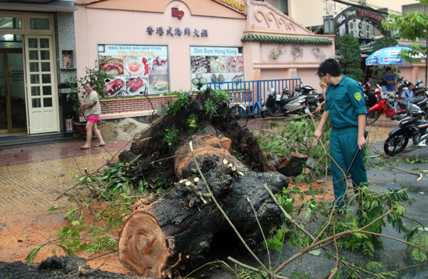 Cũng trên đường Trần Phú, đoạn gần giao lộ Nguyễn Trãi (phường 8, quận 5), một cây cổ thụ bật gốc ngã ra đường. Nhân viên cây xanh tiến hành cắt cây trong mưa để giải tỏa ùn tắc.