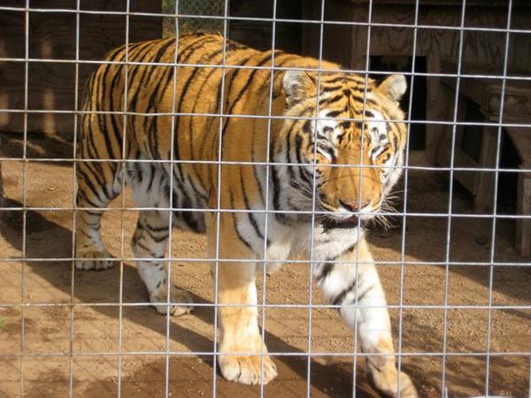 tiger-5371-1415074603.jpg
