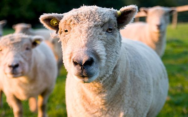 sheep-8645-1416282048.jpg