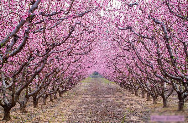 Những con đường hoa anh đào rực rỡ là đặc trưng của nước Nhật vào tầm tháng 3-4 hằng năm.