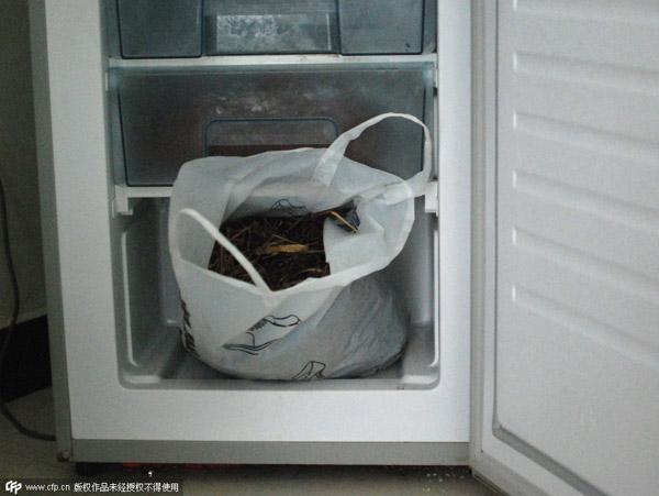 Một túi kiến đen được ông Chen cho vào ngăn đá tủ lạnh đến chết.