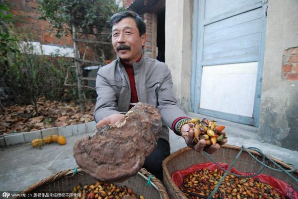 Ông Chen khoe những quả thảo dược mà ông nhặt được.