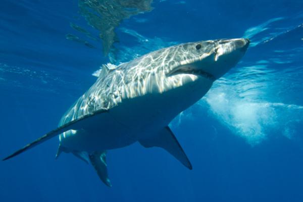 shark-5752-1423458559.jpg