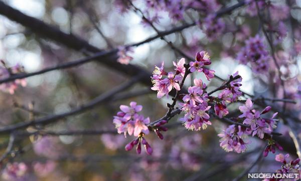 Những cánh hoa màu hồng khoe sắc trong nắng đẹp lung linh.
