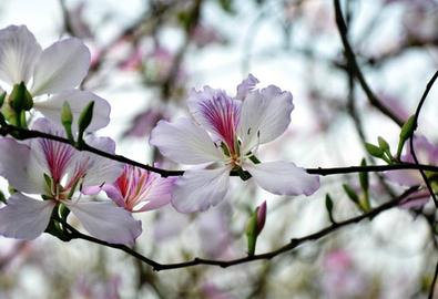 Ngất ngây trước những mùa hoa xuân miền Bắc