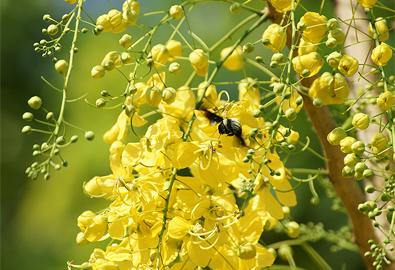 Hoa Osaka vàng rực đường phố Sài Gòn