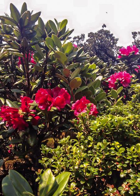 Đường đi dưới những tán cây hoa đỗ quyên, hoa ban trắng cùng bạt ngàn rừng thông tuyệt đẹp.